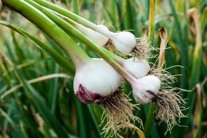9 of the Best Companion Plants to Grow with Garlic