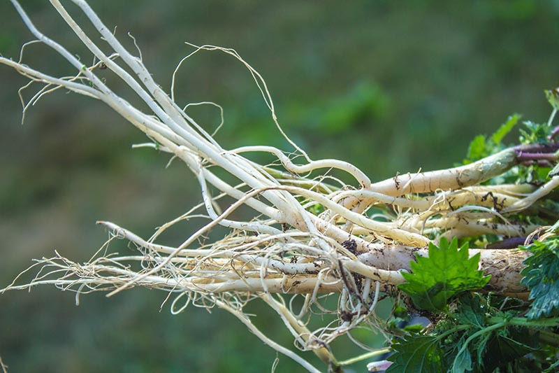 A close up of a freshly harvested stinging nettle root that has been cleaned, on a green soft focus background.