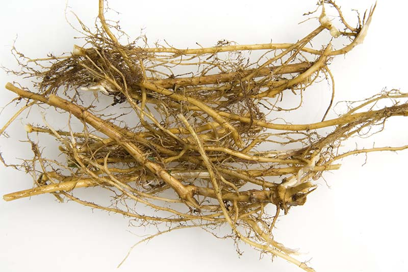A close up of fresh stinging nettle root before processing, on a white background.