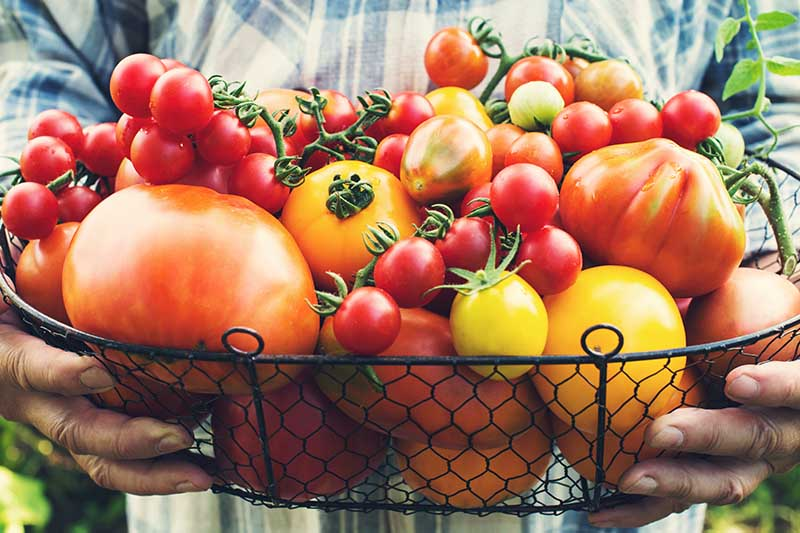 A close up of hands holding a black wire basket full of freshly harvested tomatoes of various shapes, sizes, and colors.