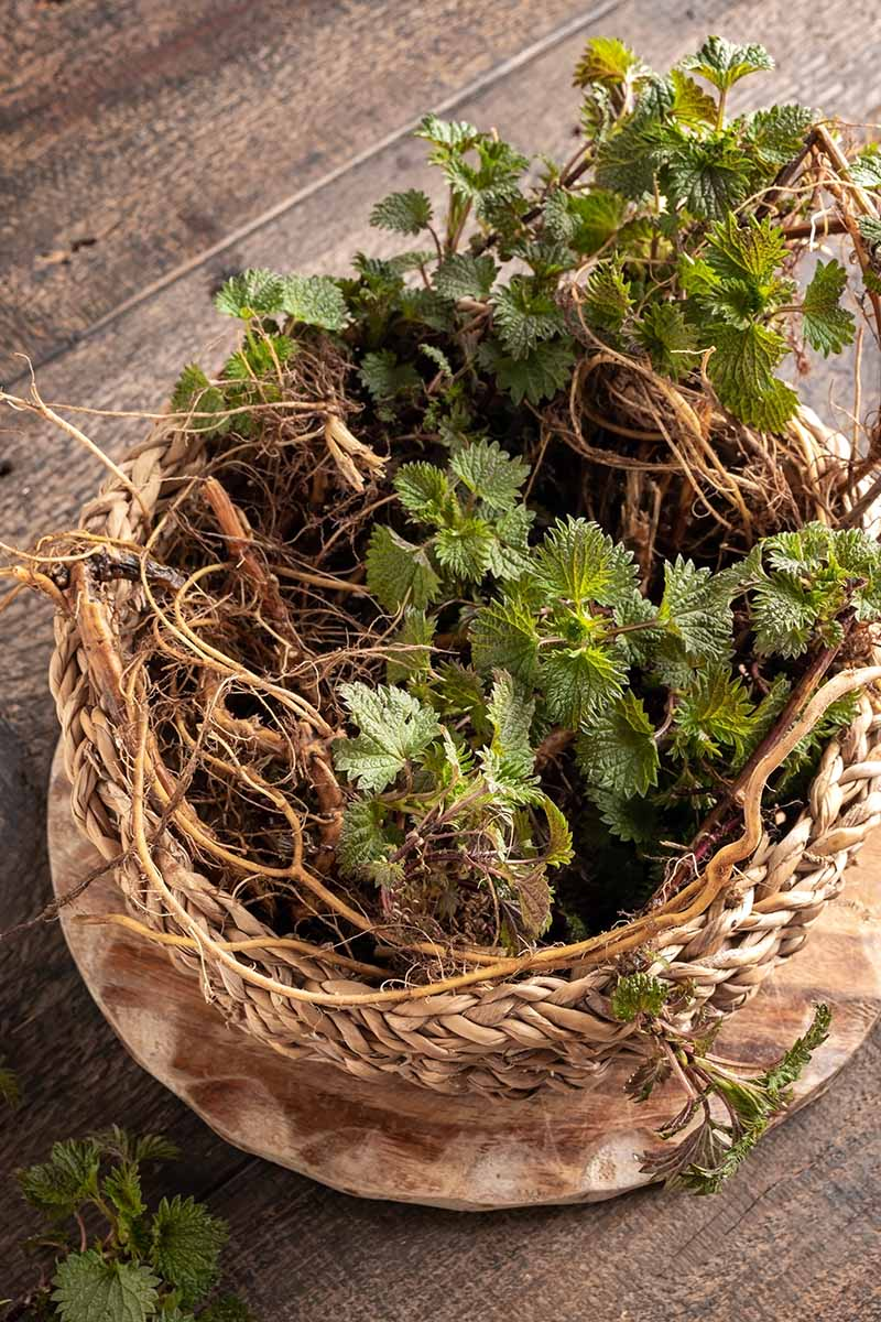 A close up vertical picture of a wooden bowl containing freshly harvested nettle roots and leaves set on a wooden surface.