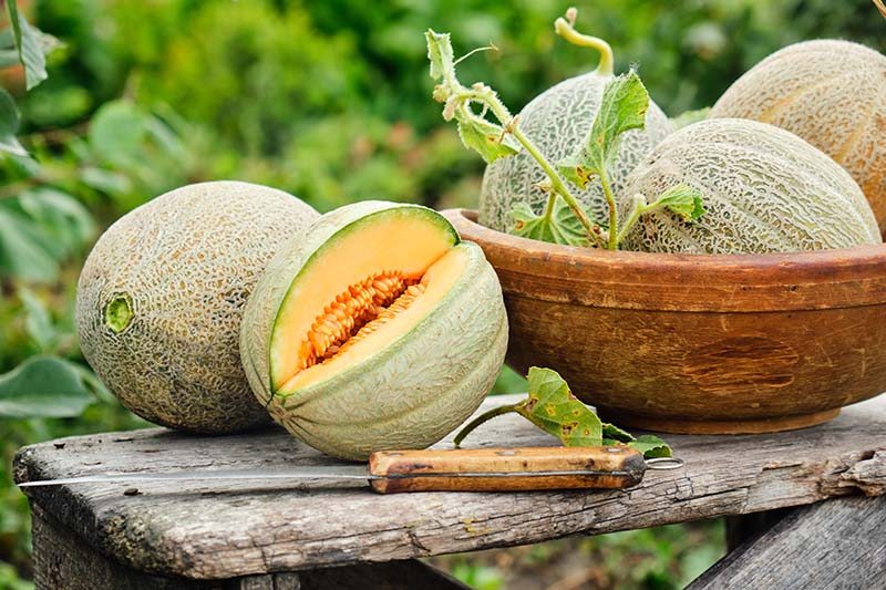 A close up of a wooden bowl containing freshly harvested melons, one with a slice cut out of it and set on a rustic wooden surface with a garden scene in soft focus in the background.