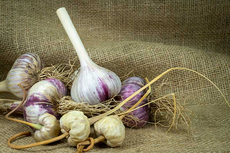 A close up of garlic bulbs and bulbils, dried and set on a hessian fabric surface.