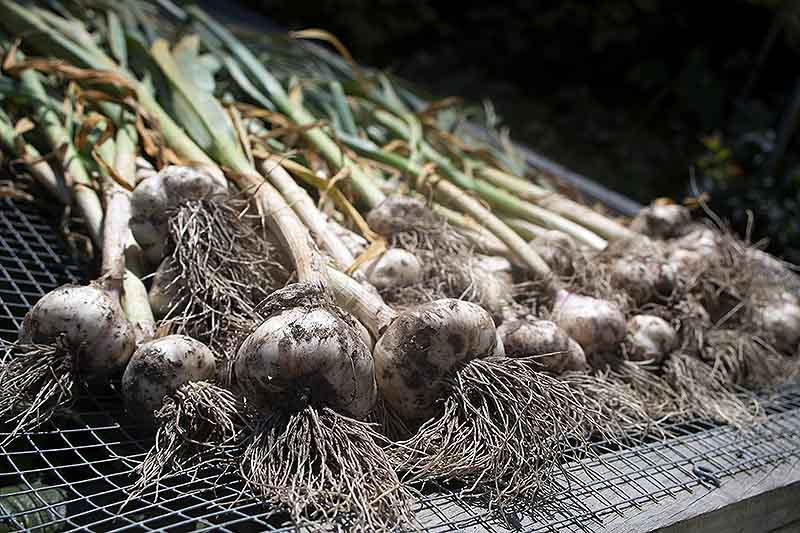 A close up of Allium sativum bulbs with the roots and foliage still attached, set out to dry on a wire mesh in the sun.