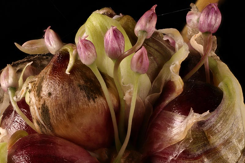 A close up of a garlic scape, showing the small bulbils and the tiny developing flower buds, on a dark background.