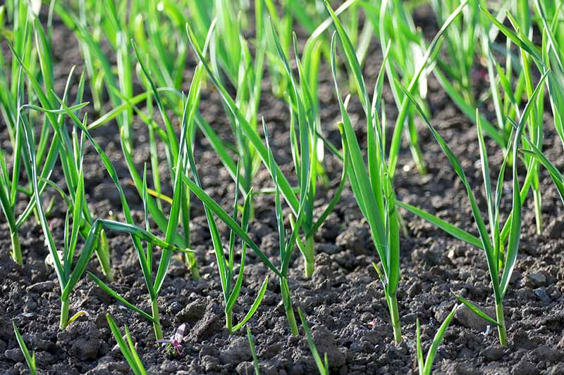 A close up of Allium sativum shoots growing in the garden in rows, with bright green foliage contrasting with the dark, rich soil, pictured in light sunshine.