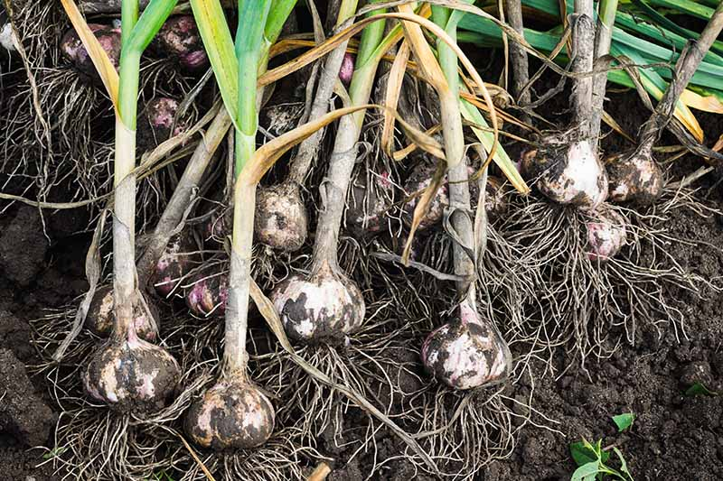 A close up of freshly harvested garlic bulbs with the roots and foliage still attached set on soil.