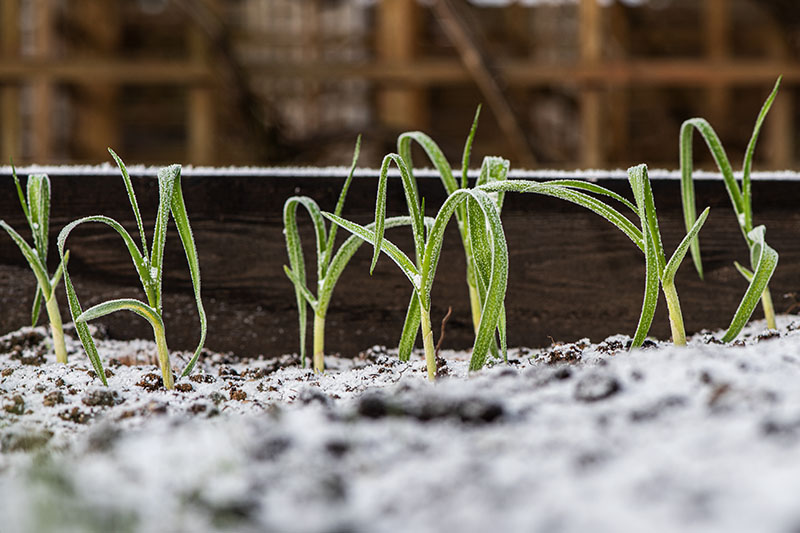 A close up of a raised garden bed with small garlic shoots growing, covered in a light dusting of frost, on a dark soft focus background.