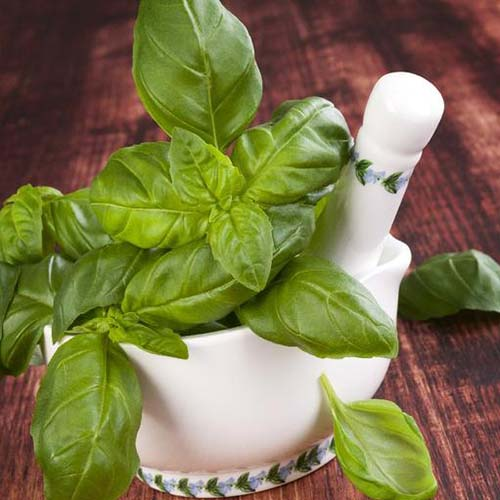 A close up of 'Genovese' basil freshly harvested in a white ceramic pestle and mortar set on a wooden surface.