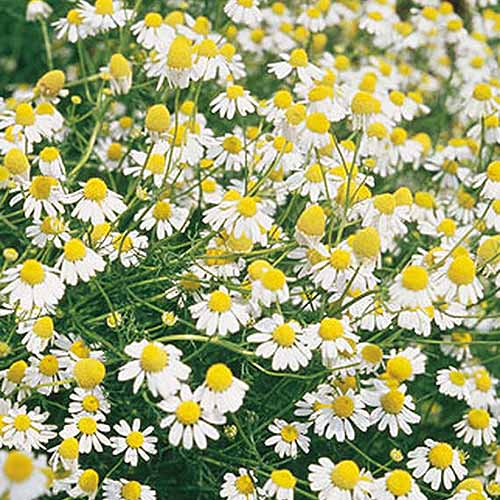 A close up of a German chamomile plant growing in the garden.