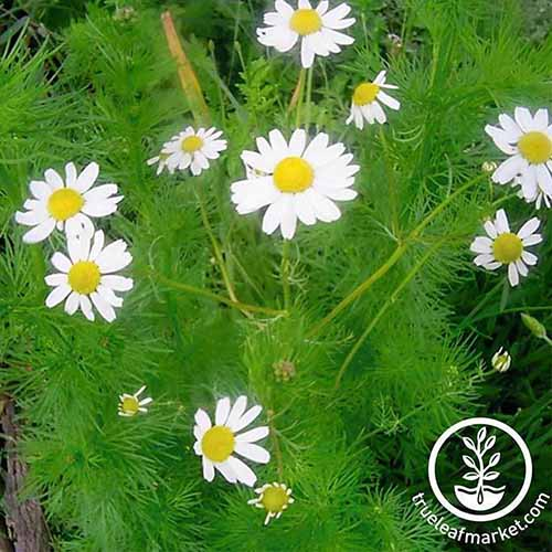 A close up of a chamomile plant with white flowers. To the bottom of the frame is a white circular logo and text.