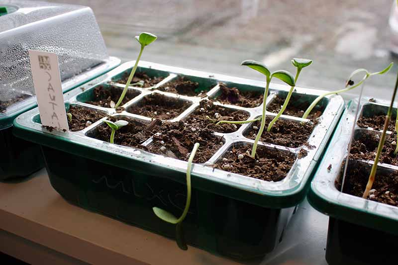 A close up of a seedling tray with recently germinated sprouts, set on a windowsill.