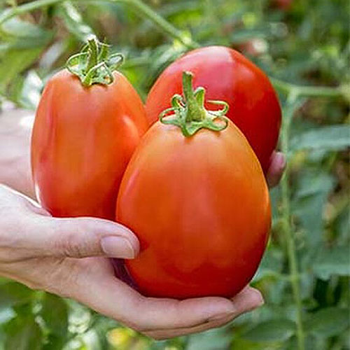 A close up of two hands from the left of the frame holding the large fruits of the 'Gladiator' variety of tomato on a soft focus background.