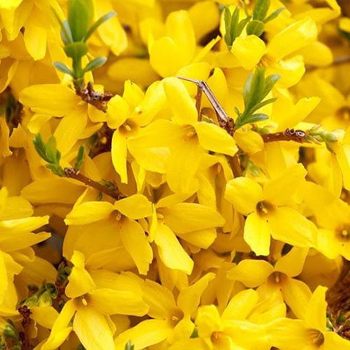 A close up of the vibrant yellow flowers of the 'Gold Tide' variety of forsythia, pictured in bright sunshine.