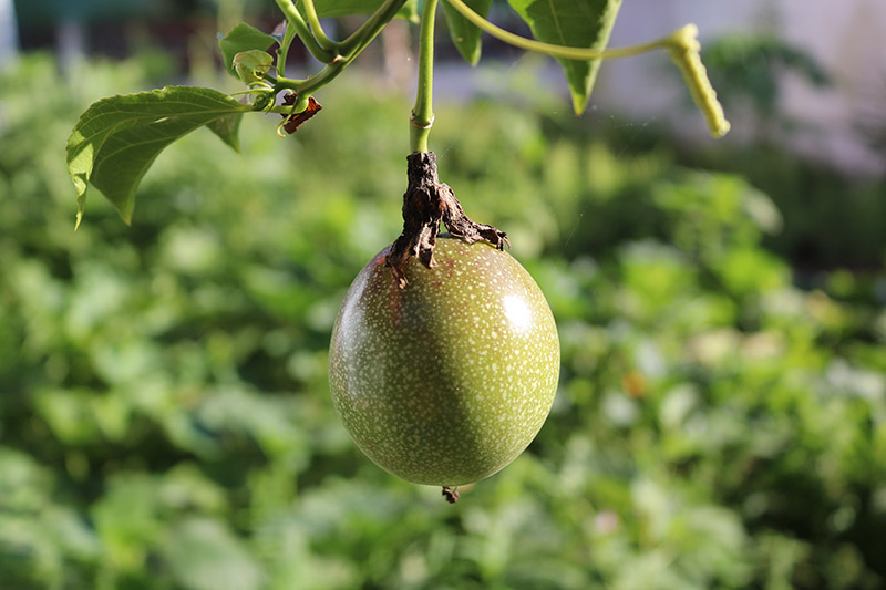 A close up of a green passion fruit growing on the vine in light sunshine on a soft focus background.