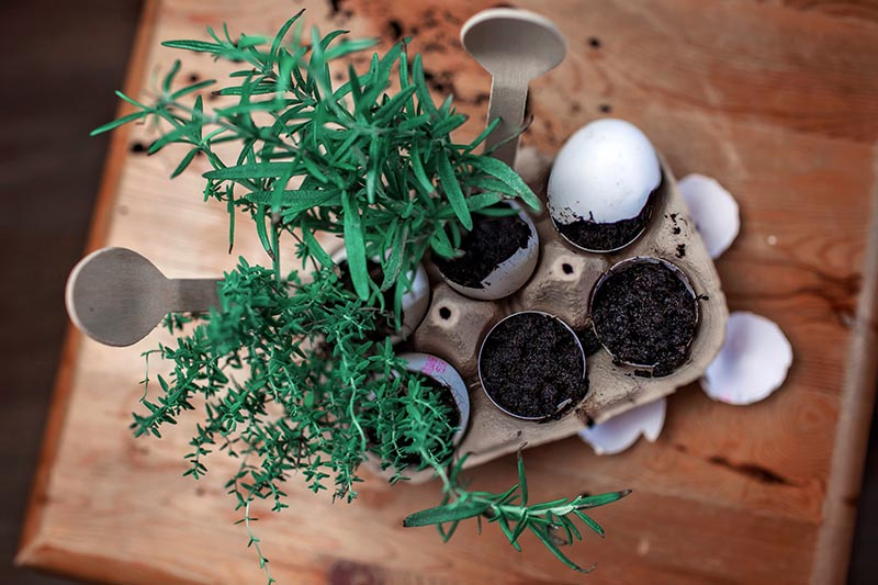 A close up top down picture of herbs grown in eggshells with wooden plant markers set on a wooden surface.