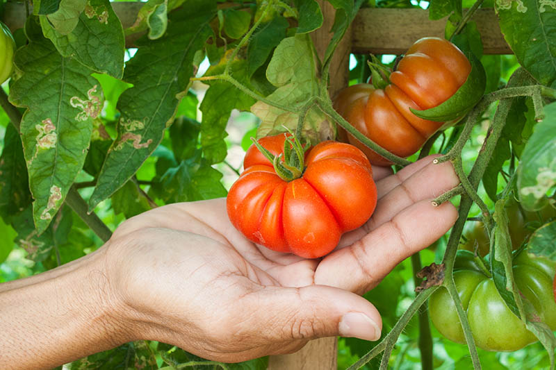A close up of a hand from the left of the frame cupping the bright red fruit surrounded by foliage fading to soft focus in the background.