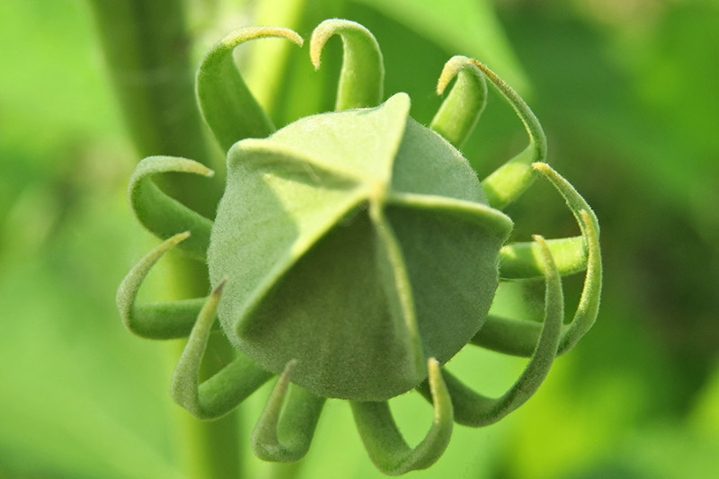 A close up of a green seed of the H. moscheutos plant, pictured in light sunshine.