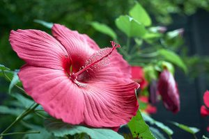 How to Grow and Care for Hardy Hibiscus