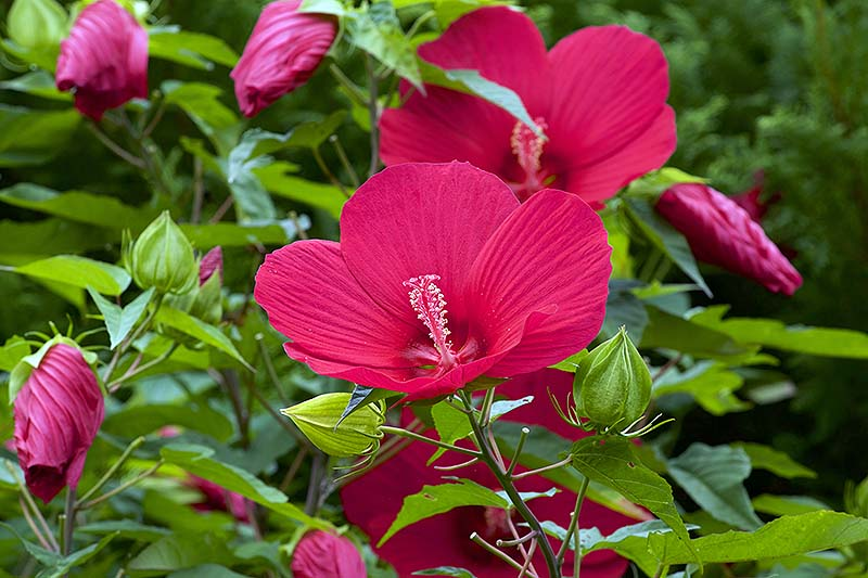 A close up of the red flowers of the hardy hibiscus shrub, growing in the garden surrounded by green foliage, pictured in light sunshine on a soft focus background.