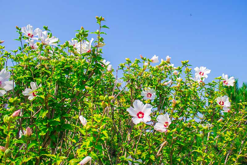 A large shrub of hardy hibiscus growing in the garden with white and red flowers with blue sky in the background.