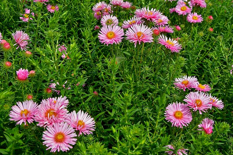 A close up of a large stand of 'Harrington's Pink' flowers, growing in the garden, surrounded by deep green foliage, pictured in light sunshine.