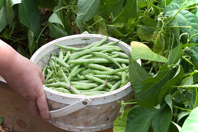 A hand from the frame is holding a basket full of freshly harvested Phaseolus vulgaris, with the plant in the background.