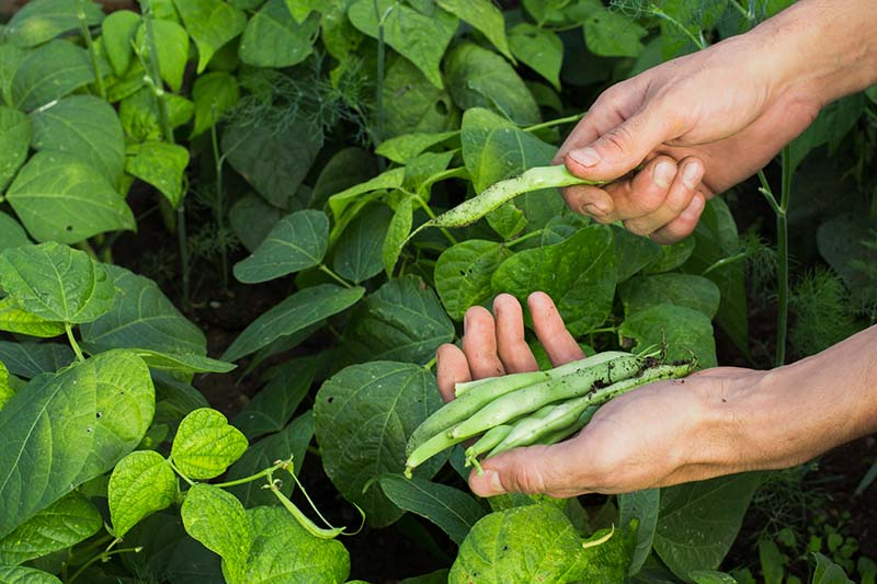 A close up of two hands from the right of the frame harvesting green bush beans with foliage in the background in soft focus.