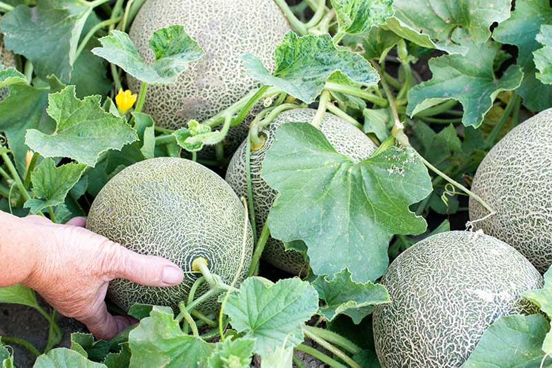 A close up of a hand from the left of the frame grasping a cantaloupe melon to check if it is harvest ready. In the background are further fruits and foliage of the vine.