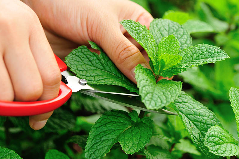 A close up of hands from the left of the frame holding a pair of scissors and snipping off the top leaves of a mint plant growing in the garden.