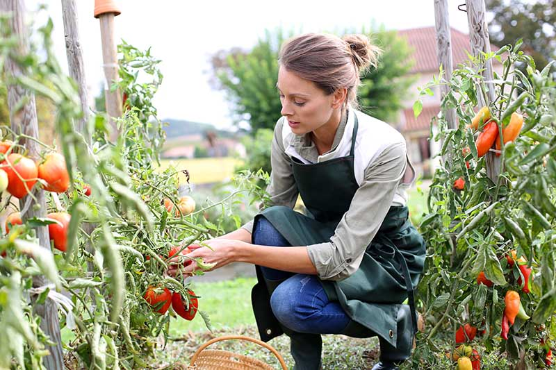 A close up of a farmer harvesting fresh tomatoes from the vines and placing them in a wicker basket. In the background is a garden scene and a house in soft focus.