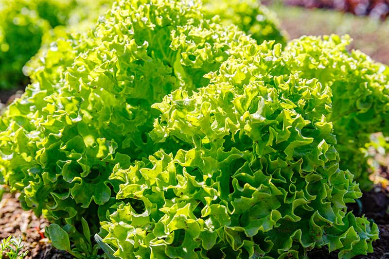 A close up of a frilly head of lettuce growing in the garden in bright sunshine on a soft focus background.