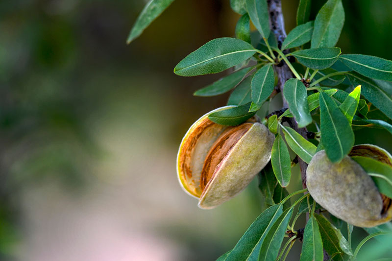 A close up of a ripe almond with the hull split cleanly with no sign of disease, on a soft focus background.