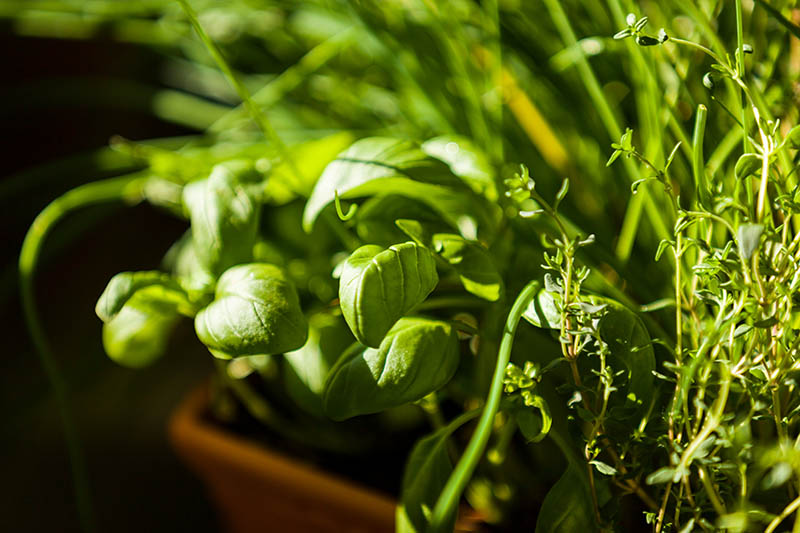 A close up of basil and thyme growing in pots in light sunshine on a soft focus background.