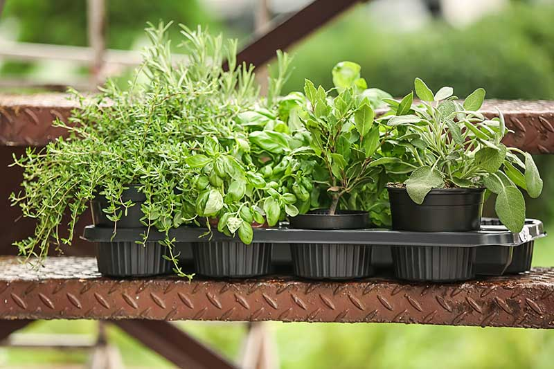 A close up of small black pots containing various different herbs set outdoors on a ledge on a soft focus background.