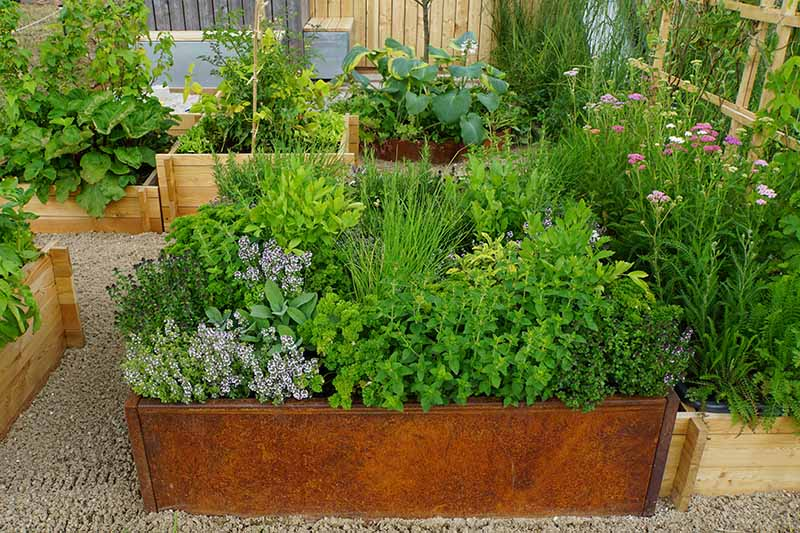 A raised garden bed growing a variety of herbs in the garden.