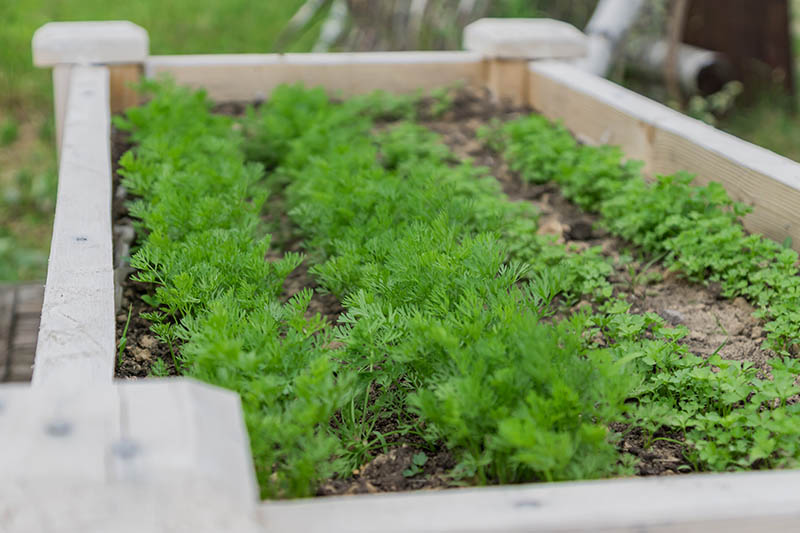 A close up of a wooden raised garden bed with various herbs growing in rows.