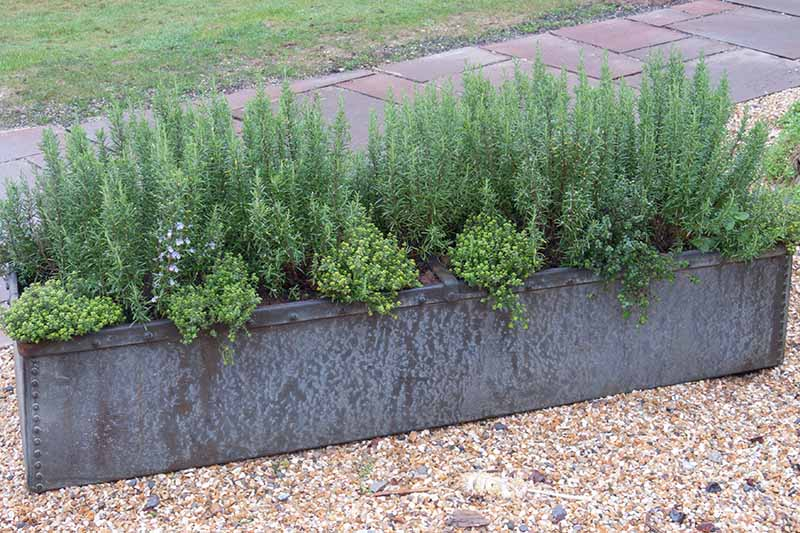 A metal container set outdoors growing rosemary with a walkway in the background.