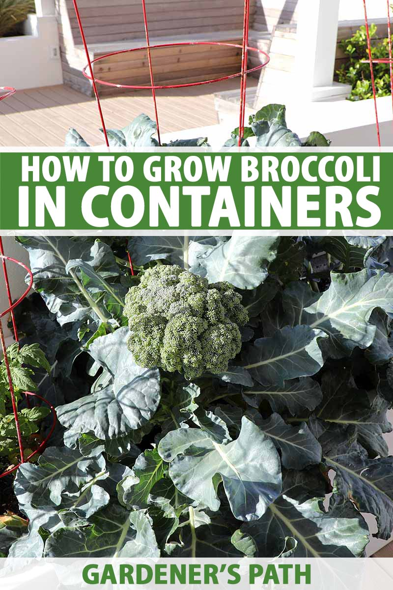 A vertical picture of a broccoli plant growing in a container on a balcony with a mature head surrounded by green foliage. To the center and bottom of the frame is green and white text.