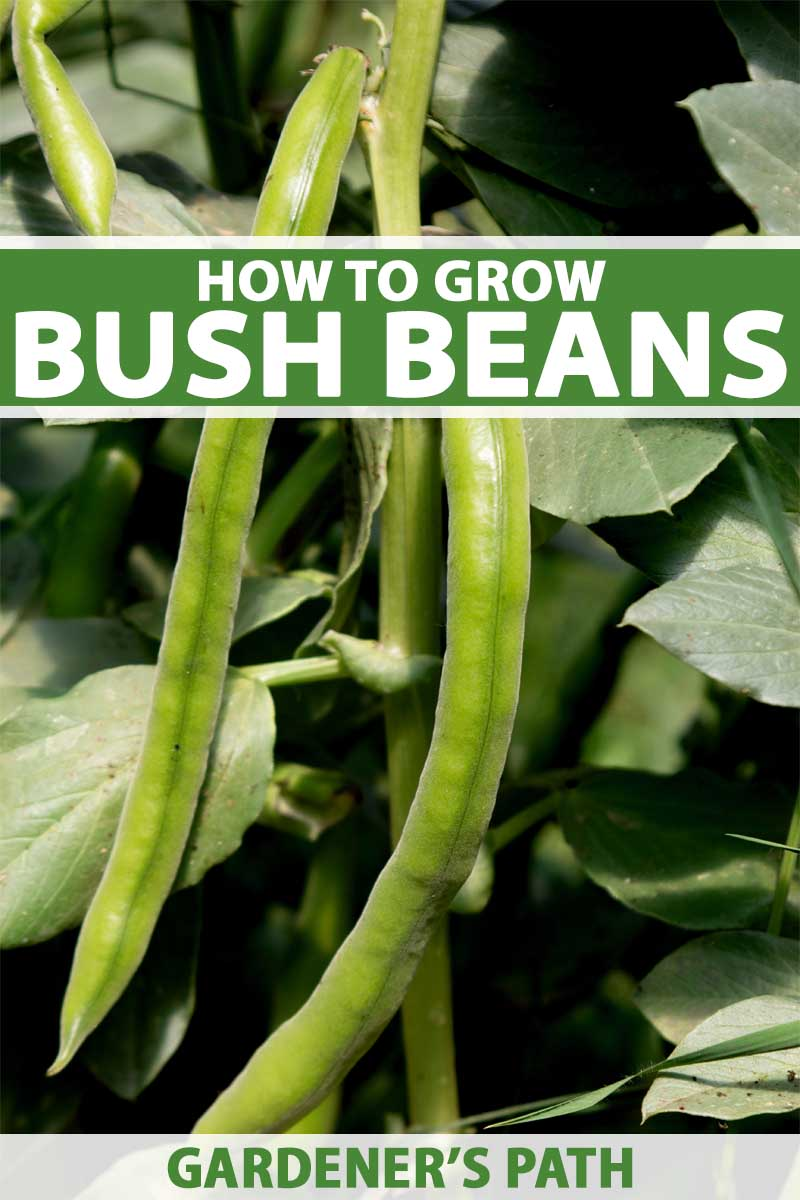 A vertical close up of bush beans ready for harvest, pictured in bright sunshine. To the center and bottom of the frame is green and white text.