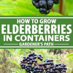 A collage of photos showing different views elderberry bushes growing in containers.