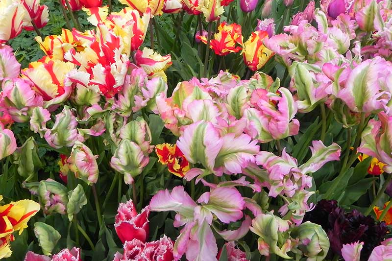 A close up of a variety of different colored cultivars of the parrot tulip, pictured growing in the garden with soft green foliage, fading to soft focus in the background.