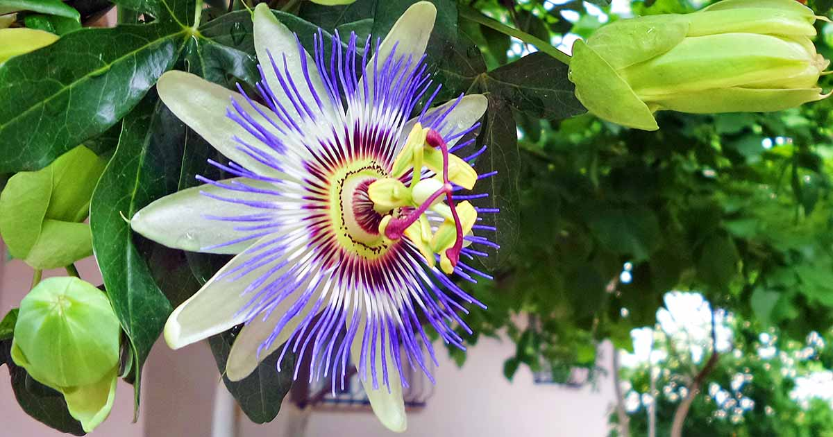 How To Grow And Care For Passionflower Gardener S Path
