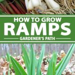 A collage of photos showing ramps growing under a tree canopy.