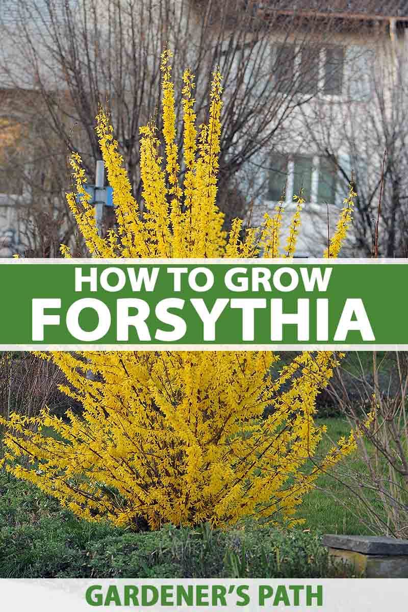 How To Grow And Care For Forsythia Gardener S Path