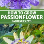 A collage of photos showing different types and colors of passionflower blooms.