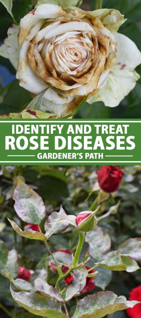 A collage of photos showing different photos of diseased rose plants.