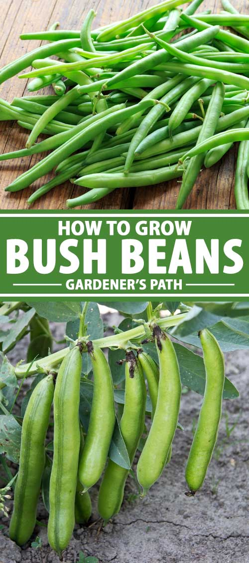 A collage showing bush style green beans growing in a garden.