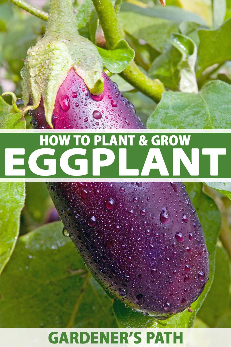 A large purple eggplant hanging from the vine in a veggie garden.