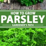 A collage of photos showing flat and curly leaf parsley growing in herb garden.